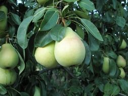 white big pears on a tree