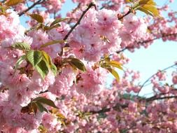 lush flowering of Japanese cherry