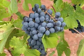 blue grapes on the vine with green leaves