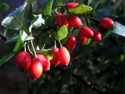rose hip red berries sunny view