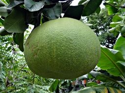 green grapefruit on a branch in India