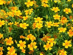 yellow marigold flowers, background