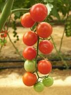 tomatoes red and green on a branch