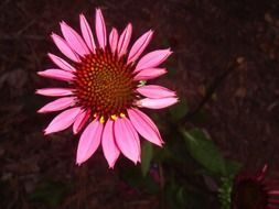 beautiful echinacea flower with bright pink petals