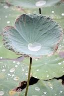 dew drops on a green lotus leaf