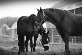 two horses in a pasture in black and white image