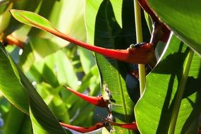 heliconia latispatha plant in the tropical vegetation