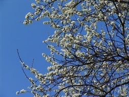 blooming white fruit tree