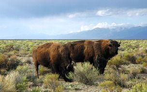 Buffalo wild animals