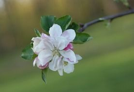 apple tree flower outdoors