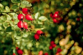 rosehips in a natural environment