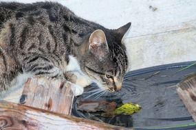 domestic cat drinking water