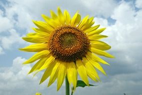 Big Natural sunflower