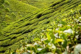 tea leaves plantation hills