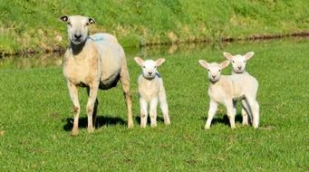 sheep with three lambs on a green meadow