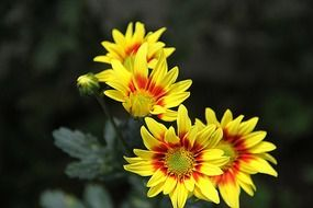 yellow chrysanthemum flowers