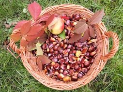 sweet chestnuts in the basket