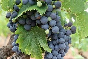 bunch of blue grapes for wine