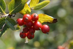 haw berries on a branch