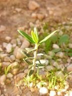 small sprout of olive tree close-up