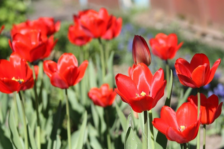 Red tulips on a flower bed