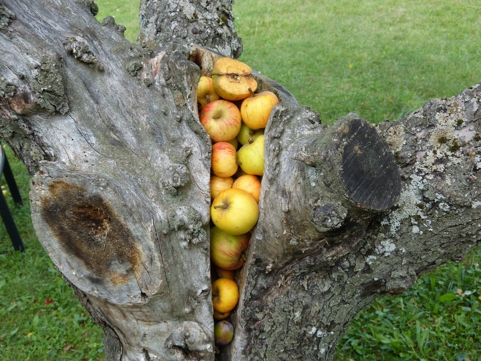 apples stuck in a gap in an old tree