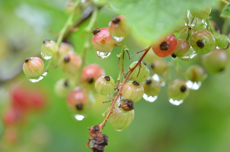 berries of gooseberry in the garden
