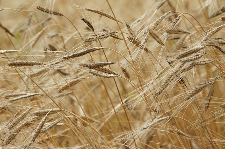 einkorn grain field