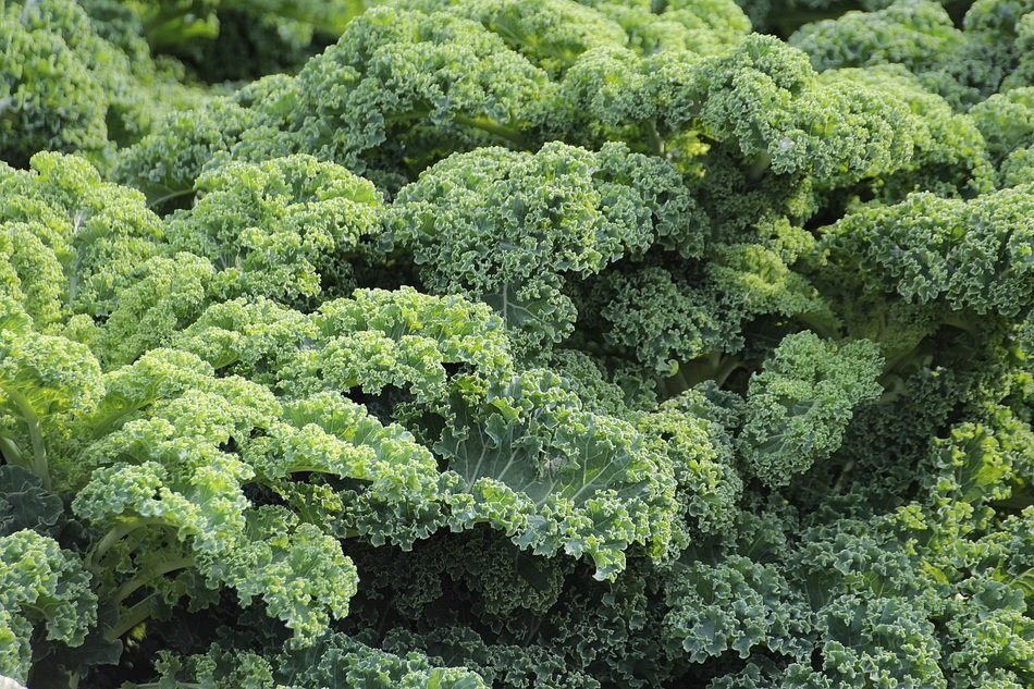 A lot of kale plants grow in the garden