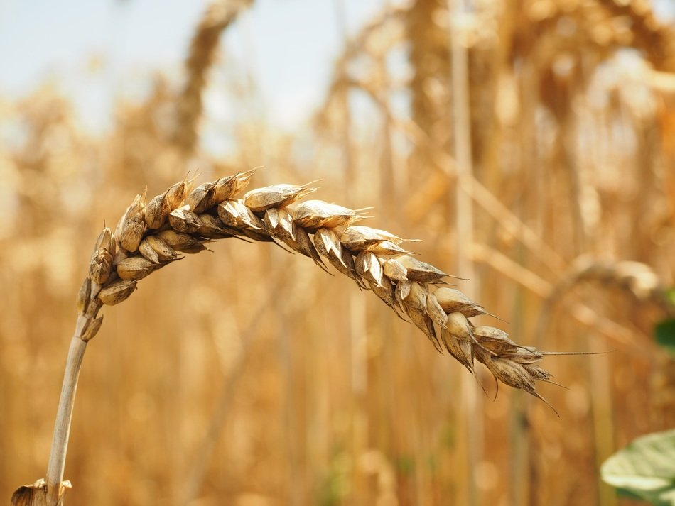 Macro Photo of wheat in a field
