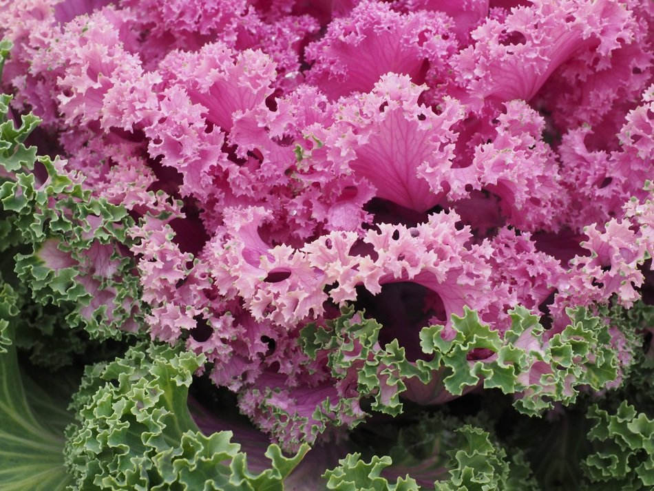 green and pink ornamental cabbage leaves kraus