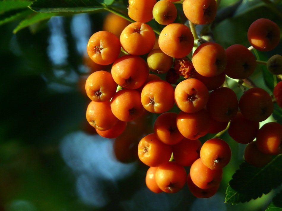 orange rowan berries on a bush