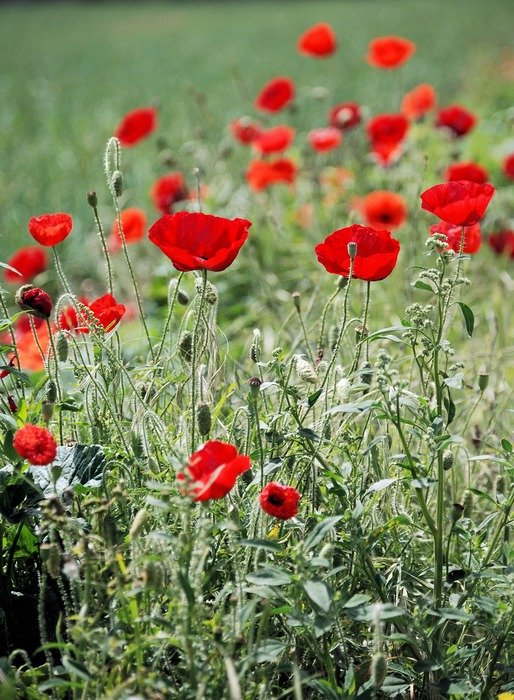 The blooming red poppies