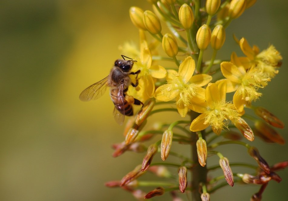 bee collects pollen from yellow flowers