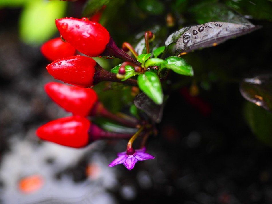 small red chili peppers