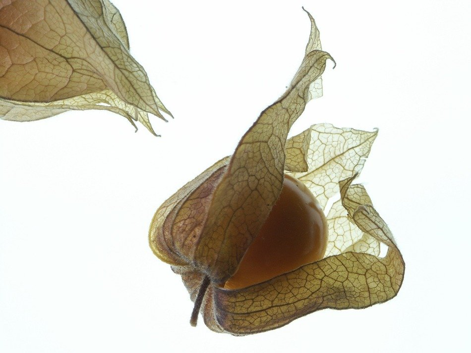 isolated physalis fruits