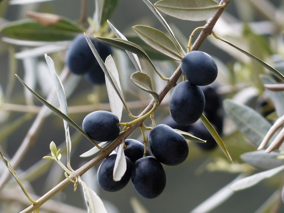 Black olives on the tree branch