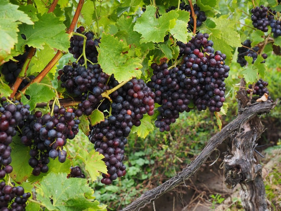 varietal grapes berries wine blue