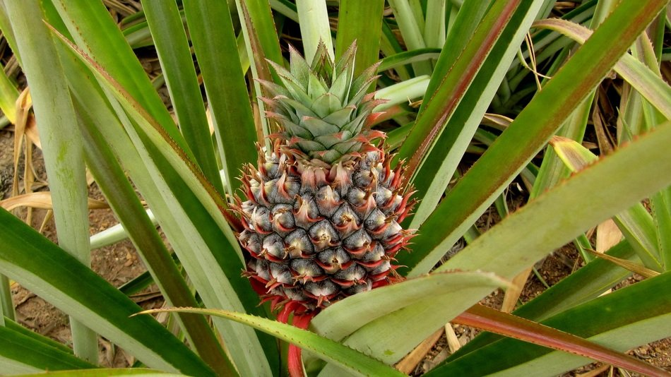growing tropical pineapple
