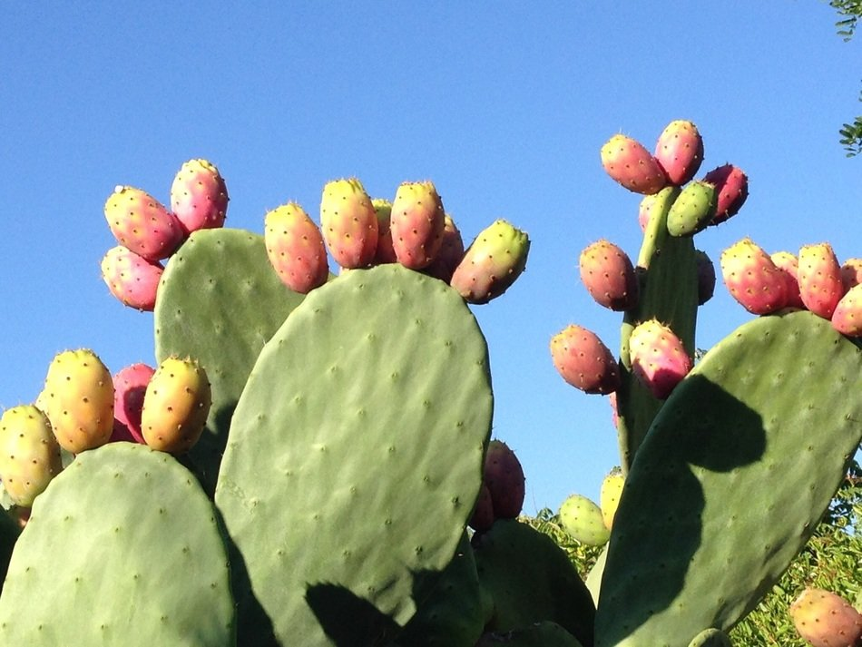 incredibly tasty prickly pear