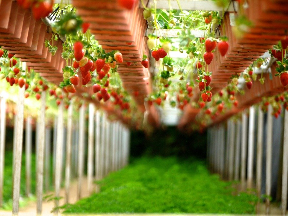 strawberry garden cultivation