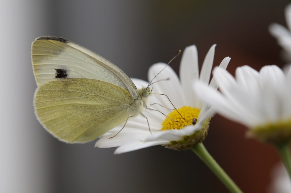 butterfly white on camomile