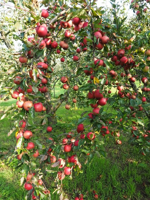 red apple orchard
