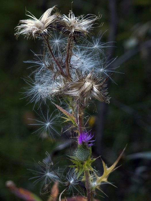 wild flower withered thistle