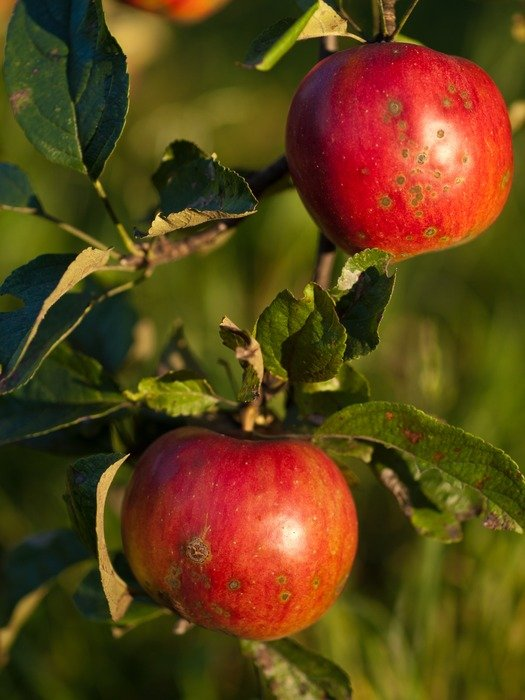 two red garden apples on a branch close-up on blurred background