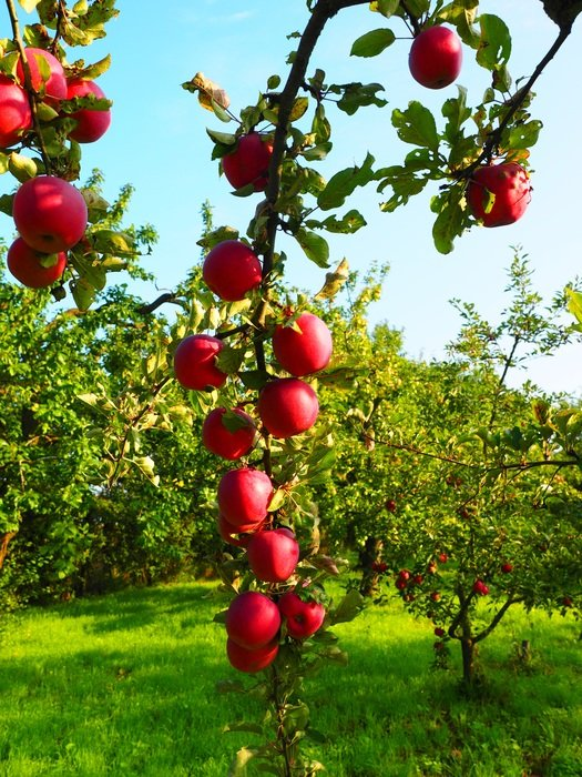 apple tree fruit red frisch vitamins