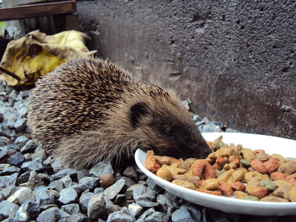hedgehog eats food from a small plate
