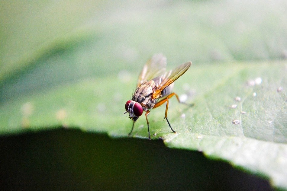 fruit fly on the green leaf
