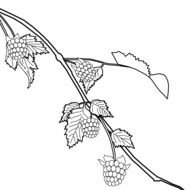 blackberries on twig, drawing