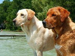 two beautiful labradors after swimming